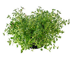 HERB THYME 100 Non Gmo Heirloom Seeds  - FREE SHIPPING