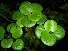 Limnobium laevigatum - Südamerikanischer Froschbiss - Schwimmpflanze für Aquariu
