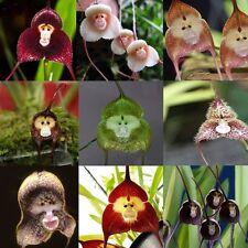 Neu 10 Stück Affe Gesichts Orchidee Garten Blumensamen Pflanzensamen 10 Farben