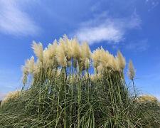Pampasgras weiß • 100+ Samen/seeds • Cortaderia selloana white • Pampas Grass