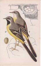 GREY WAGTAIL - BIRD EGG & Nest vintage1975 bookprint KVETOSLAV HISEK