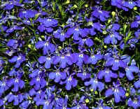 1000 Pcs Fleur graines Lobelia Lobelia Erinus Bleu tapis