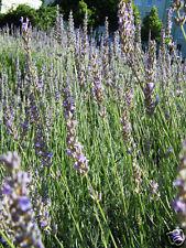 15ml Sweet Lavender Essential Oil (Lavendin)