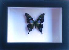 Graphium weiskei in a Black Frame