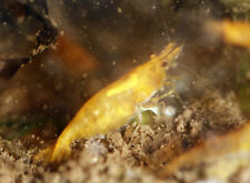 20 + extras Orange Sakura freshwater neocaridina shrimp - Usa seller