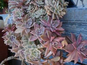 super grand lot  BOUTURES plantes façiles  +feuilles verveine ,infusions jardin