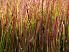 JAPANESE BLOOD GRASS - 3 LIVE PLANTS - Red and Green, Perennial - GroCo USA`
