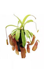 1 X Nepenthes Indoor Plant 30cm