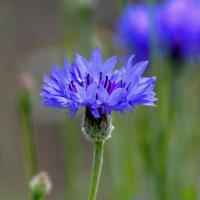 Centaurea cyanus (Blue Cornflower) - Fresh Flower Seeds: Select Quantity 🌱
