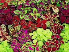 BEAUTIFUL MIX OF COLEUS - 25 SEEDS - BRIGHT COLORS! Comb.S/H! SEE OUR STORE!