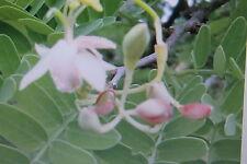 2 Semillas Tamarindo,Tamarindus indica#409