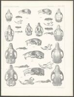 18550s Lithograph Print of Small Mammal Skulls from the Pacific Railroad Survey