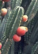 Cereus peruvianus, grafting stock cactus seed 100 SEEDS