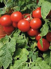 """Large Red Cherry Tomato *Heirloom* (100 Seed's) """" FREE SHIPPING"""" <Non-GMO>"""