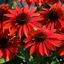 25 seeds Red Sombrero Coneflower Echinacea Perennial attracts butterflies +gift