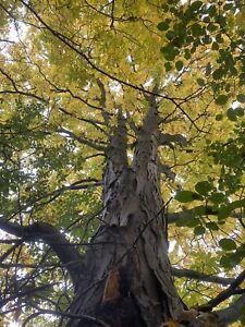 10+ Shagbark Hickory (Carya ovata) Seeds For Sale! Shade Tree Nut Tree Native