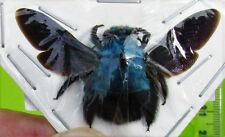 Lot of 10 Uncommon Blue Carpenter Bee Xylocopa caerulea Female FAST FROM USA