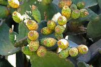 hat leckere, essbare Früchte: der schöne Feigenkaktus !
