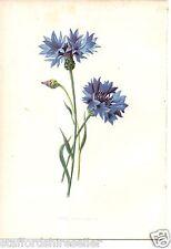 Vintage Wild Flowers Print Chromolithograph c1885 Corn Blue Bottle by F E Hulme