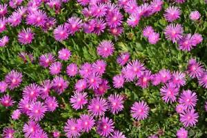 6 X Delosperma Cooperi Plug Plants - Pink Carpet - Perennial Ice Plant