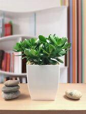 Evergreen Lucky Money Jade Plant Succulent Gloss White Milano Pot Indoor Office