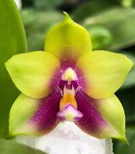 Novelty Phal Phalaenopsis Ld's Bear Queen (Miro #20 x Miro #200) Fragrant