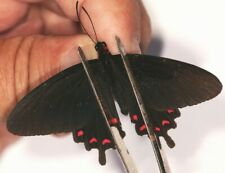 Papilionidae Parides montezuma from Mexico