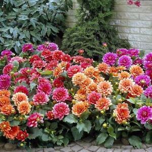 "(2) ""Border Mix Dahlia Roots"" Spectacular Cut Flowers,  New Flower Bulb"