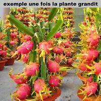 Bouture de Fruit du Dragon Hilocereus Pitaya Pitahaya Fruit Exotique Sans Racine