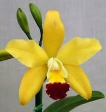 Pot. Paradise Beauty 'Golden Angel' (T12)