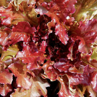 ORGANIC Red Lettuce Oak Leaf Salad Bowl Finest 200 seeds UK US EU Bio Worldwide