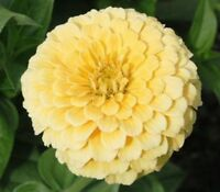 Zinnia- Elegans - Isabellina - 100 Seeds