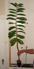 ~SOURSOP~ Annona muricata FRUIT TREE Guanabana NOT BareRoot 18-24+in Pot'd Plant