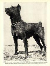 1930s Antique Bouvier des Flandres Dog Print Sheepdog of Flanders Print 3625-J