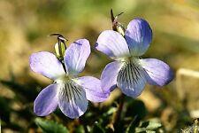 100 PRAIRIE VIOLET PURPLE VIOLA Coastal Larkspur Pedatifida Palmata Flower Seeds