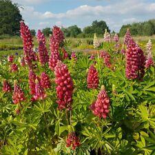 Bauerngarten In Stauden Pflanzen Günstig Kaufen Ebay