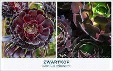 zwartkop succulent black rose cutting fairy gardens aeonium arboreum cutting