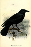 Framed Print - Vintage New Caledonian Crow (Picture Poster Raven Bird Animal)