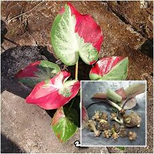 Caladium 1 Tuber, Queen of the Leafy Plants, ''Chaichon'' Tropical From Thailand