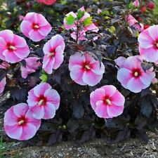 "bush hibiscus STARRY STARRY NIGHT flower hardy 2.5"" pot = 1 Live Potted Plant"