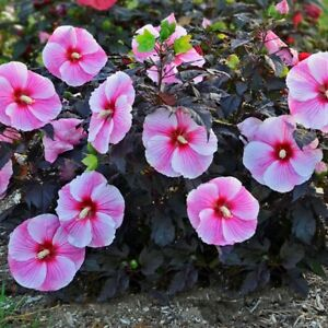 """bush hibiscus STARRY STARRY NIGHT flower hardy 2.5"""" pot = 1 Live Potted Plant"""