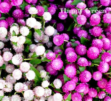 GOMPHRENA MIX - Gomphrena Globosa - 120 SEEDS - Annual Flower