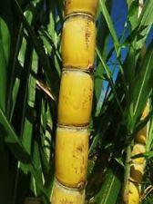 Organic Sugarcane Green/Yellow 7 pcs 8 in More Than 2 Eyes Each + Extra Sugar Ca