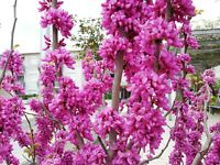 """der Liebesbaum """"Cercis siliquastrum"""" - eine wahre Schönheit im Garten !"""