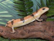 "Real Taxidermy Large Lifelike 10.5"" Peters Banded Skink Reptile Lizard See Desc."