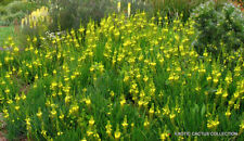 Bushy Bulbine abyssinica rare succulent flowering exotic cactus plant 20 seeds