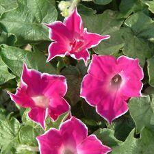 Morning Glory Red picotee 30 seeds