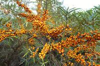 Winterhart Sanddorn: eine Vitamin-C-haltige Frucht, für die Wintermonate !