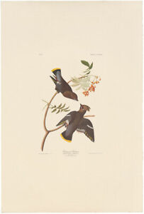 Audubon Amsterdam Ed Double Elephant Folio lithograph Pl 363 Bohemian Chatter