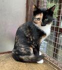 Donate a dinner for Annie the tortoiseshell kitten - Ceredigion Cat Rescue